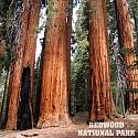 Redwood Trees 12x12 Scrapbooking Paper