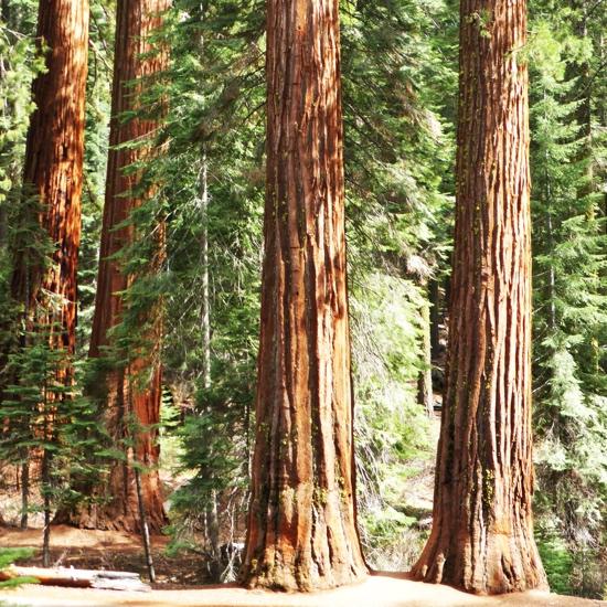 Redwood Trees 12x12 Scrapbooking Paper