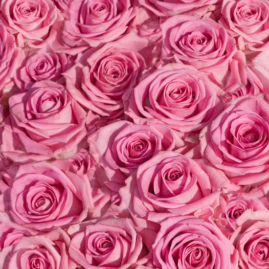 Pink Roses 12x12 Scrapbooking Paper