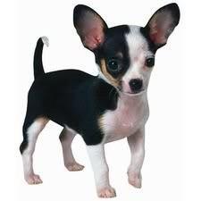 Chihuahua Scrapbooking Die Cut
